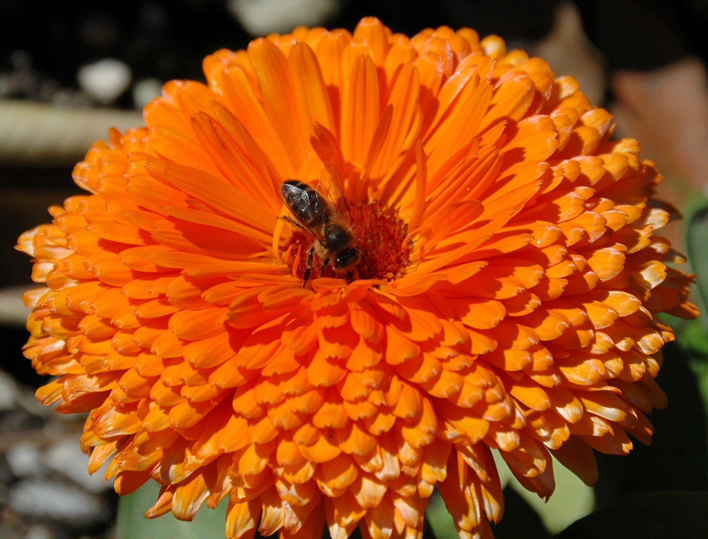 6678 Orange Flower with Bee