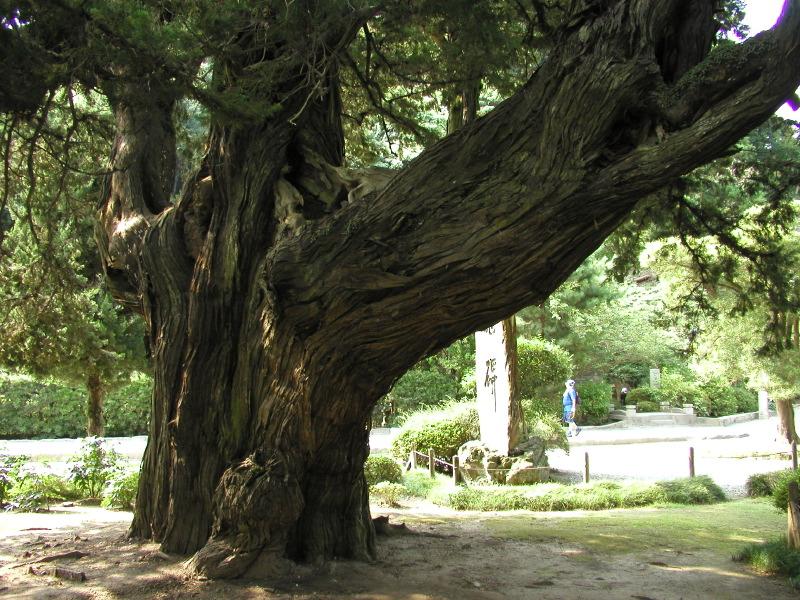 700-year-old Junipers, Kencho-ji Temple, Kamakura