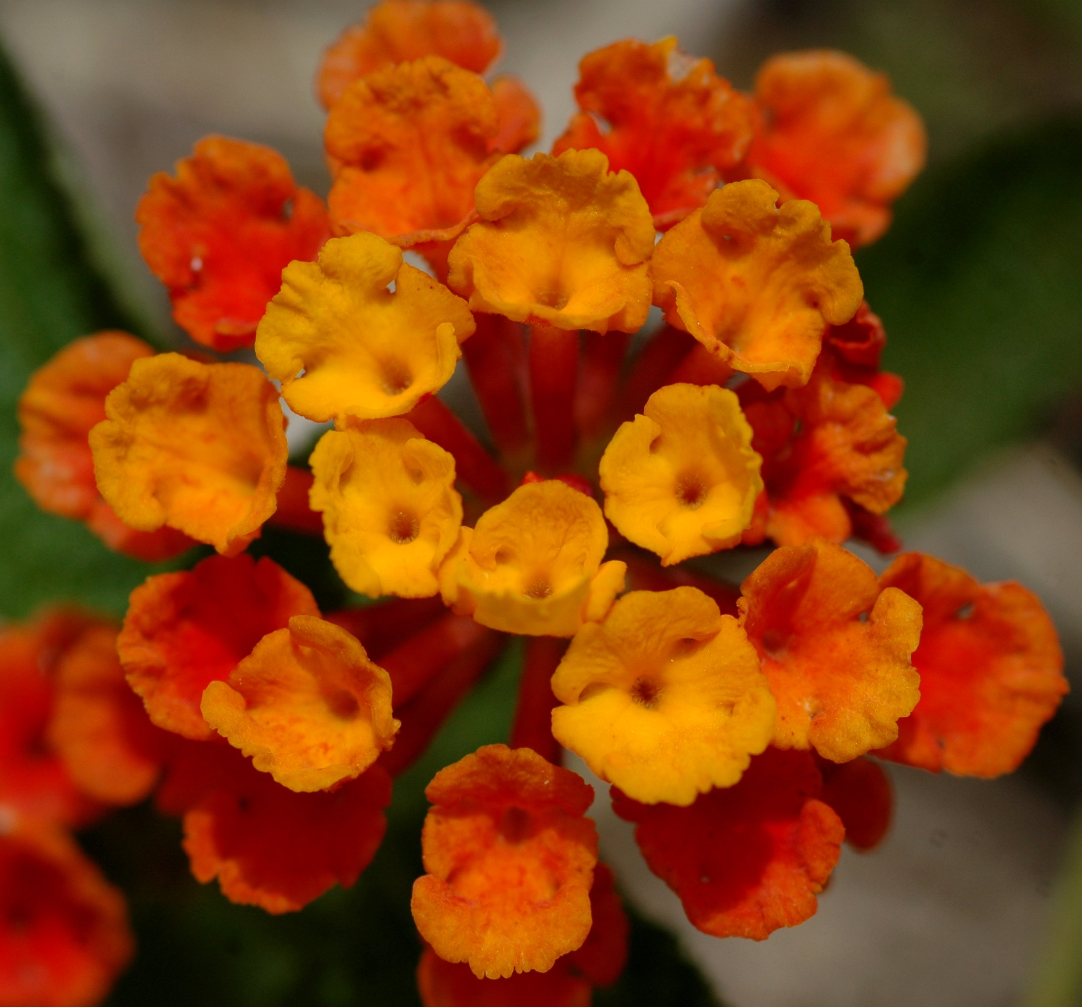 20070606 5373 Yellow And Orange Flowers